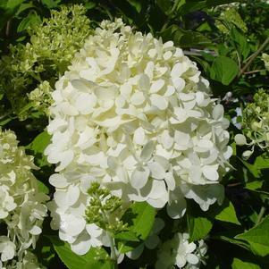 Hydrangea paniculata 'Limelight' - Tree Form-#10 Container<br/>Limelight Panicle Hydrangea