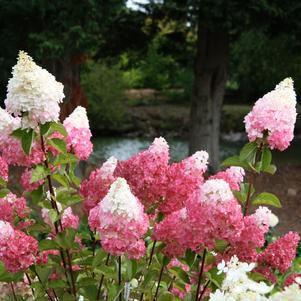 Hydrangea paniculata 'Vanilla Strawberry' -#3 Container<br/>Vanilla Strawberry&#8482; Panicle Hydrangea
