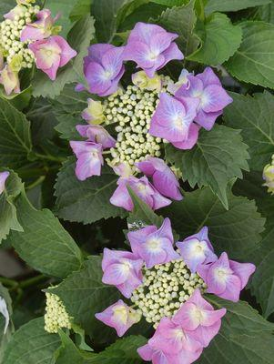 Hydrangea macrophylla 'Blue Cassell'-#3 Container<br/>Blue Cassell Hydrangea