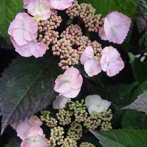 Hydrangea macrophylla 'Lady In Red'-#3 Container<br/>Lady in Red Hydrangea