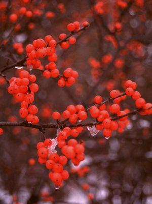Ilex verticillata 'Berry Heavy'-#3 Container<br/>Berry Heavy® Winterberry