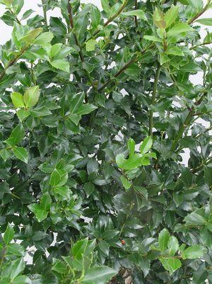 Ilex X meserveae 'Blue Maid'-#10 Container<br/>Blue Maid Holly