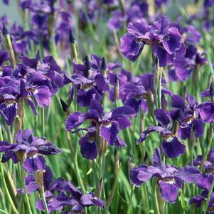 Iris sibirica 'Caesars Brother'-#1 Container<br/>Caesars Brother Siberian Iris