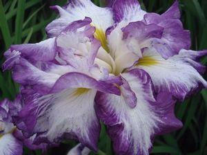 Iris ensata 'Lion King'-#1 Container<br/>