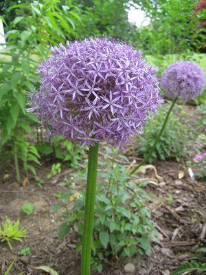 Allium 'Globemaster'-#2 Container<br/>Flowering Onion