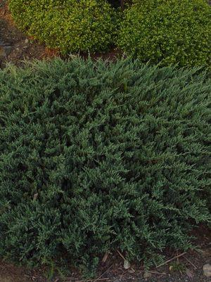 Juniperus horizontalis 'Blue Chip'-#2 Container<br/>Blue Chip Juniper