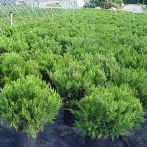 Juniperus horizontalis 'Youngstown'-#3 Container<br/>Compact Andorra Juniper