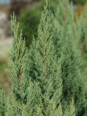 Juniperus chinensis 'Blue Point'-#10 Container<br/>Blue Point Juniper