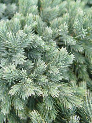 Juniperus squamata 'Blue Star'-#3 Container<br/>Blue Star Juniper