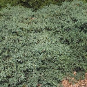 Juniperus virginiana 'Grey Owl'-#3 Container<br/>Grey Owl Juniper