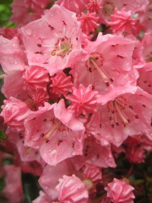 Mountain Laurel 'Pink Charm' - 5 Gal.