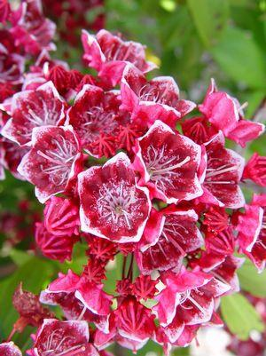 Kalmia latifolia 'Kaleidoscope'-#3 Container<br/>Kaleidoscope Mountain Laurel