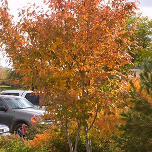Amelanchier X 'Autumn Brilliance'-#3 Container<br/>Autumn Brilliance Shadblow Serviceberry