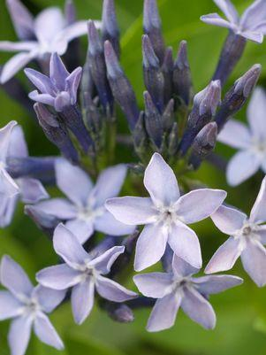 Amsonia tabernaemontana 'Blue Ice'-#1 Container<br/>Blue Ice Star Flower