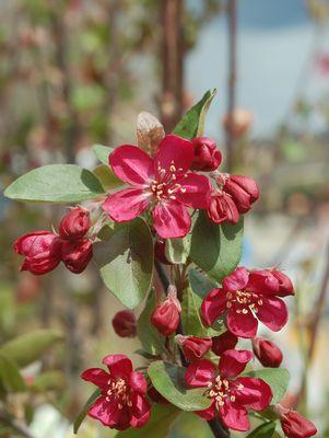 Malus 'Adams'-#15 Container<br/>Adams Crabapple