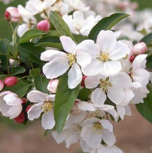 Crabapple 'Donald Wyman' - #15