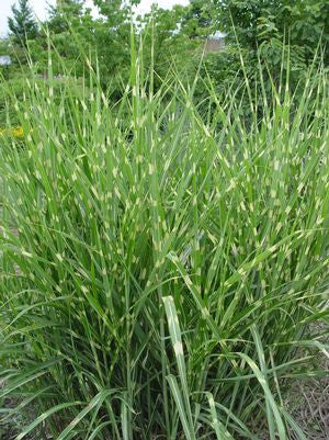 Miscanthus sinensis 'Strictus'-#3 Container<br/>Porcupine Grass