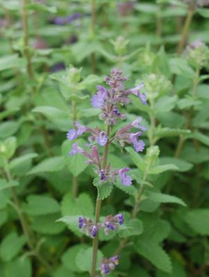 Nepeta mussini 'Blue Wonder'-#1 Container<br/>Blue Wonder Catmint