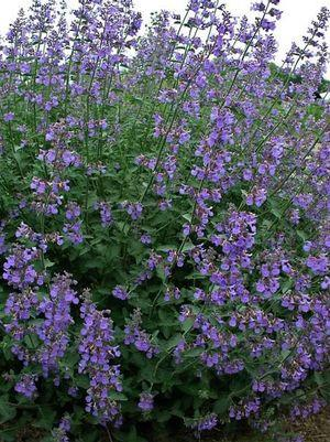 Nepeta faassenii 'Six Hills Giant'-#2 Container<br/>Six Hills Giant Catmint