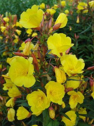 Oenothera fruticosa 'Fireworks'-#1 Container<br/>Fireworks Evening Primrose