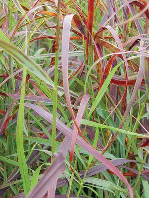 Panicum virgatum 'Ruby Ribbons'-#1 Container<br/>RUBY RIBBONS SWITCH GRASS