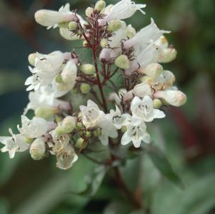 Penstemon digitalis 'Husker Red'-#1 Container<br/>Husker Red Beard Tongue