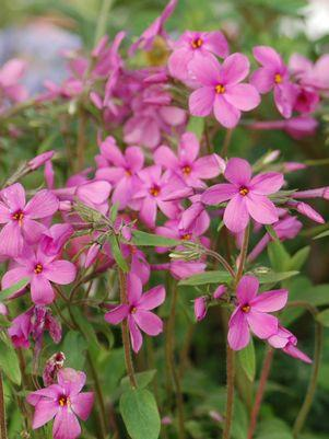 Phlox stolonifera 'Home Fires'-#1 Container<br/>Home Fries Creeping Phlox
