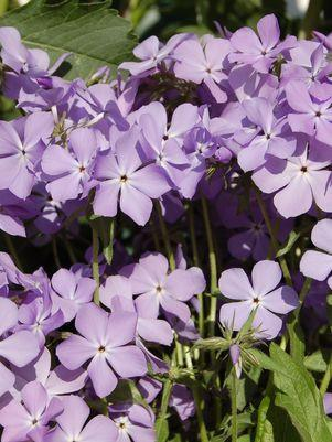 Phlox divaricata 'Blue Moon'-#1 Container<br/>Blue Moon Woodland Phlox