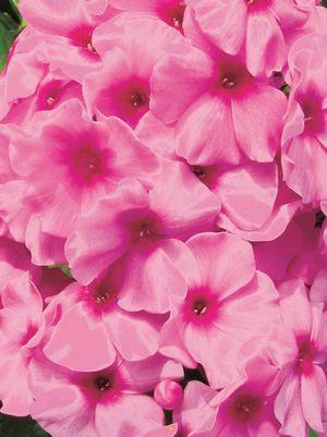Phlox volcano 'Pink W/Red Eye'-#1 Container<br/>Volcano? Pink with Red Eye Garden Phlox