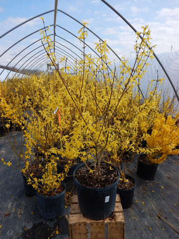 Forsythia 'intermedia Lynwood' - #3