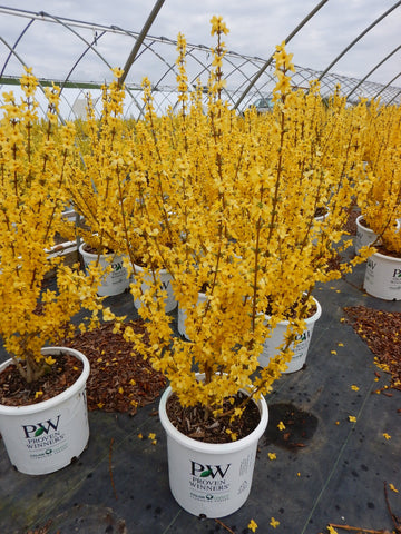 Forsythia 'Show Off®' - #5
