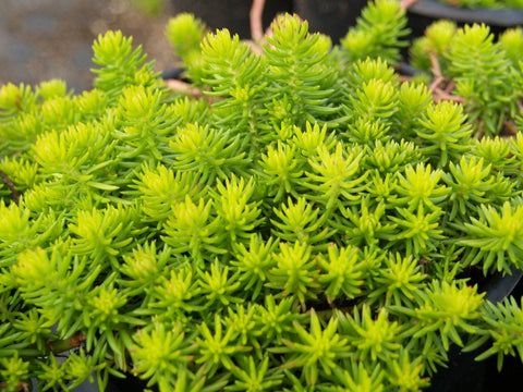 Stonecrop 'Angelina' - Tray Of 18