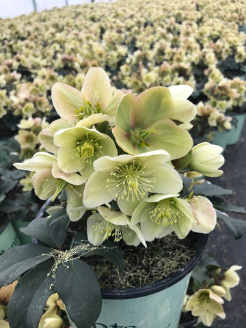 Hellebore Or Lenton Rose 'Hgc® Champion' - 8 In.