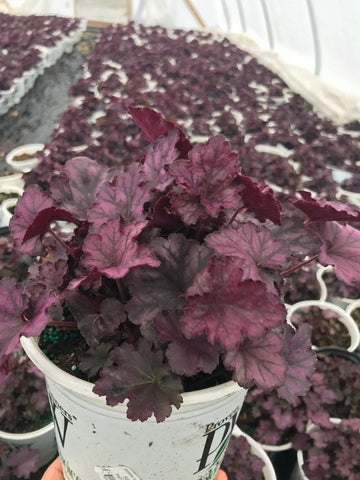 Coral Bells 'Dolce® Blackberry Ice' - #1