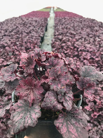 Coral Bells 'Grape Expectations' - #1