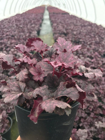 Coral Bells 'Plum Pudding' - 1 Gal.