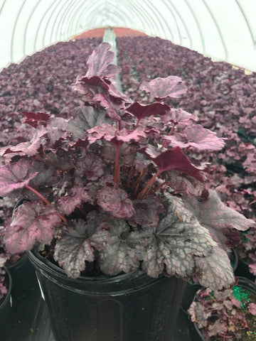 Coral Bells 'Plum Pudding' - #1