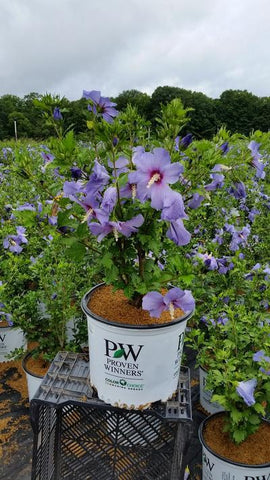 Rose Of Sharon 'Azurri Blue Satin' - 3 Gal.