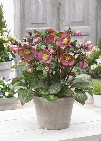 Hellebore Or Lenton Rose 'Frostkiss®Pippa's Purple' - 8 In.