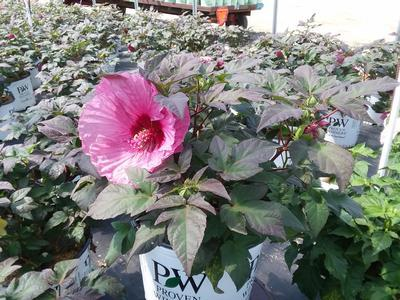 Hibiscus-Perennial 'Summerific® Berry Awesome' - 3 Gal.