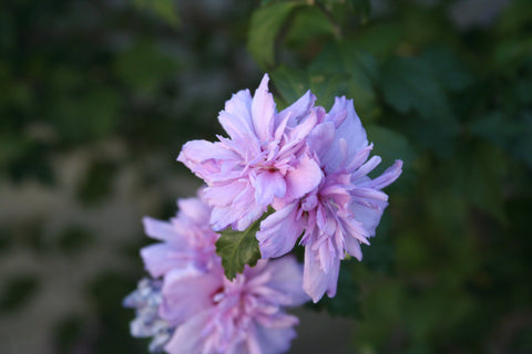 Rose Of Sharon - 'Blushing Bride' - 7 Gal. Multi Stem