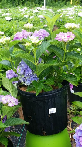 Hydrangea-Big Leaf 'Blue Sunset' - 3 Gal.