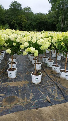 Hydrangea-Panicle 'Limelight - Tree Form' - 7 Gal.
