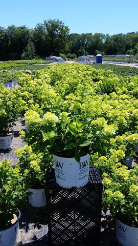 Hydrangea-Panicle 'Little Lime®' - 3 Gal.