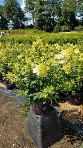 Hydrangea-Panicle 'Strawberry Sundae®' - 3 Gal.