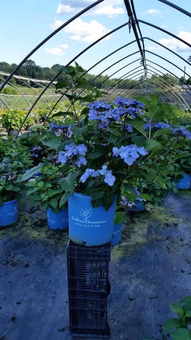 Hydrangea-Big Leaf 'Endless Summer® Twist-N-Shout®' - 5 Gal.