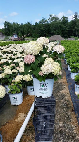 Hydrangea-Smooth 'Invincibelle Wee White®' - #3