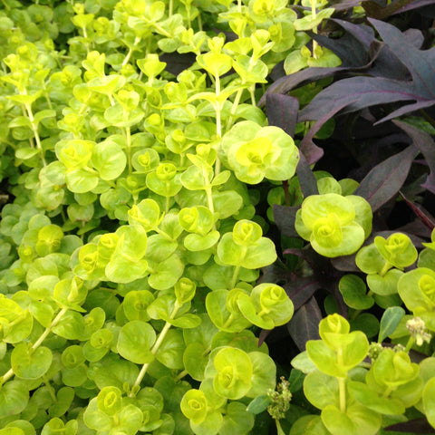 Creeping Jenny 'Goldie' - 4""