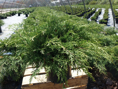 Russian Cypress - 2 Gal.