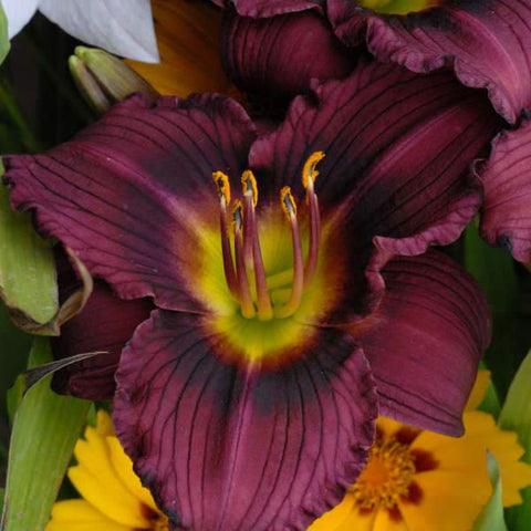 Daylily 'Little Grapette' - 2 Gal.